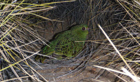 Applidyne helping to save endangered night parrots from extinction